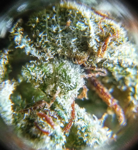 Gorilla Glue #3 by Bigfoot Farms   Toasted n\' Posted